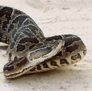 Bothrops alternatus.jpg